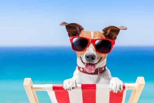 כלב עם משקפי שמש