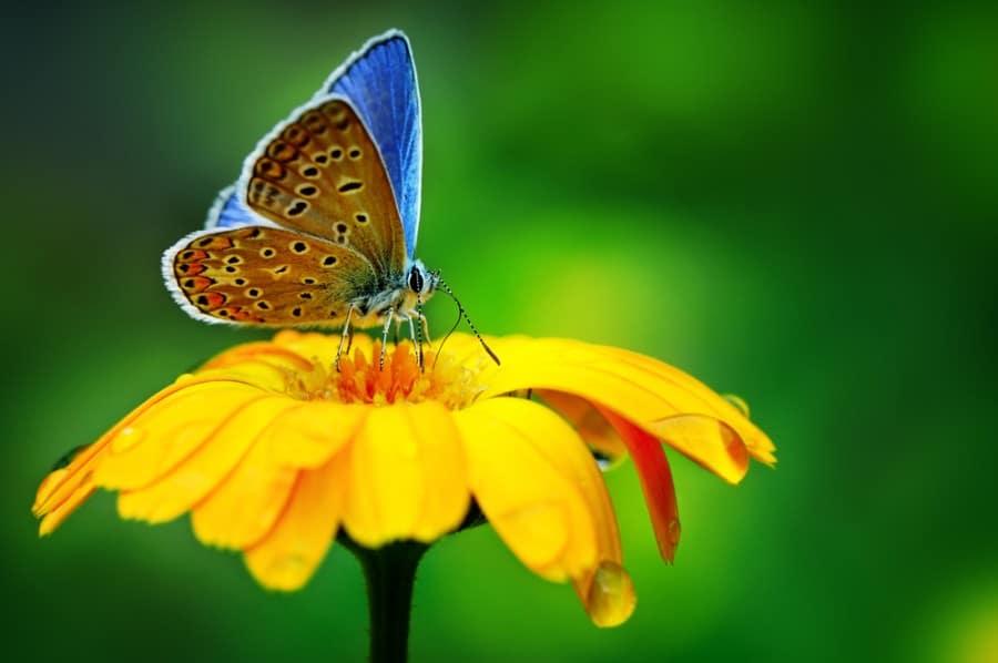 פרפר כחול על פרח צהוב