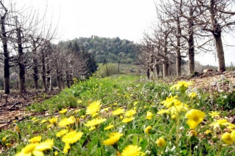 שדה פרחים ליד צובה