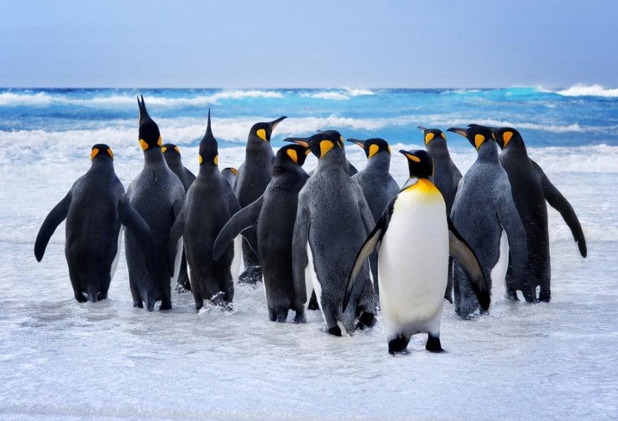 פינגווינין